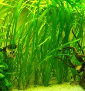 Валлиснерия в аквариум- валинснерия растение