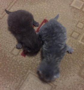 Бронь на котят шатланцы