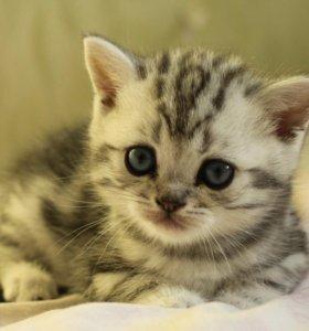 Британский котёнок