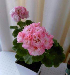 Пеларгония розоцветая