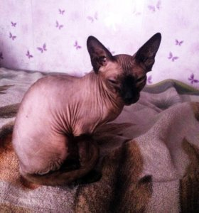 Продам котенка Канадского сфинкса, кошечка