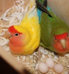 Неразлучники и волнистые попугаи.