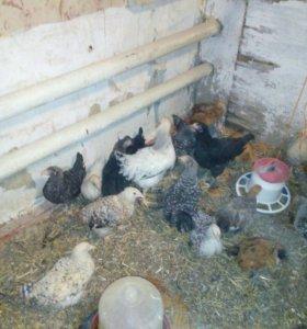 Подрощенные цыплята.