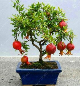 Гранатовое дерево Семена для домашнего сада 5 шт