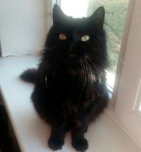 Кошечка, помесь с персом