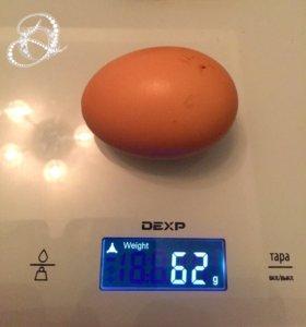 Инкубационное Яйцо Билифельдер