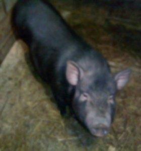 Супоросная вьетнамская свинья