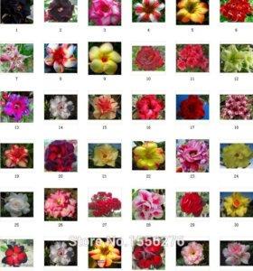 Адениум Obesum Desert Rose100 Mix-цвет Семена 5шт