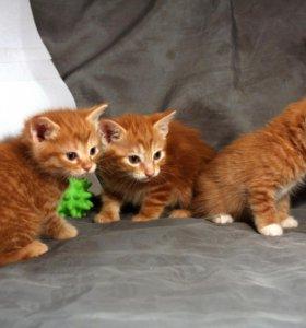 котята-рыжие рысята