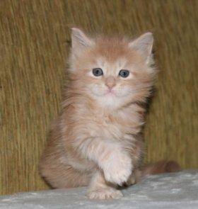 Котенок Мейн Кун редкого окраса