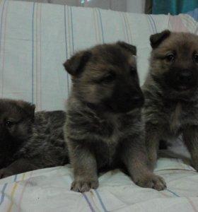 3 щенка немецкой овчарки