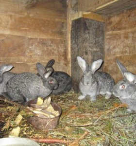 Кролик живой вес