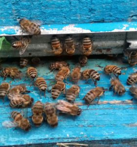 Пчелопакеты дадан -рут