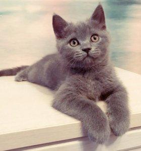 Шотландский (скоттиш-страйт) котик