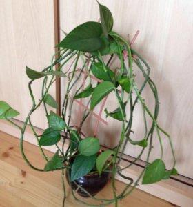 Комнатный цветок-лиана