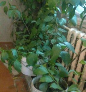 Лимоновые деревья с плодами