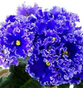 Фиалка ЕК-Синий иней лист, детки