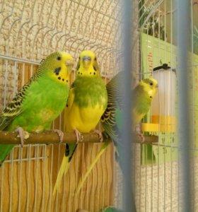 Волнистый попугай (выбор)