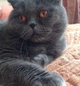 Отдам в добрые руки британскую кошку