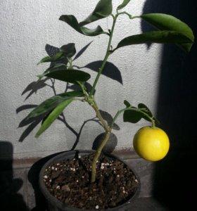 Лиметта сладкий лимон