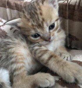 Шотландцские котята ищут хозяина