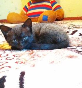Сиамский котенок бесплатно