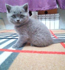 Котёнок британской породы (девочка)