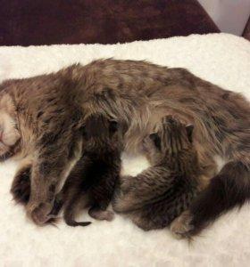 Шотландские котята бронь
