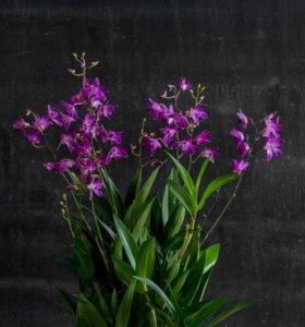 Детка Орхидеи Берри ода