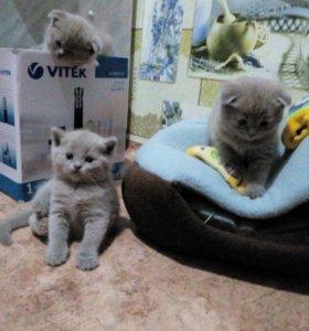 Продам шотландских вислоухих и прямоухих котят.