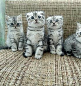 Продаю чистокровных Шотландских котят.