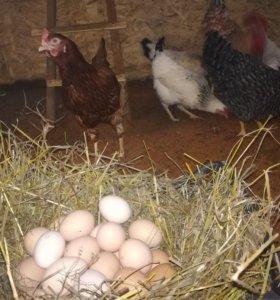 Куриные яйца (домашние)