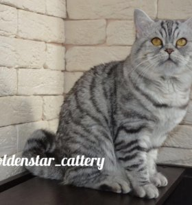 Вязка с прямоухим шотландским котом