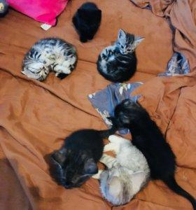 Котята полубританцы 1.5 месяца