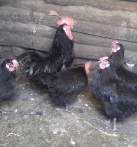 Инкубационное яйцо кур породы Испанская минорка