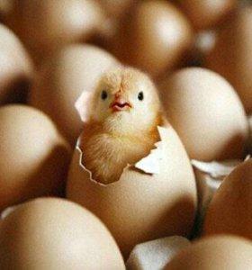 Инкубационое яйцо бролера РОСС-308