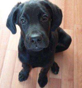 Лабрадор по кличке Рэй❤️очень ласковый, умный пёс