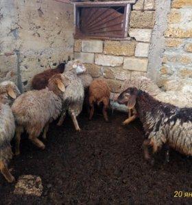 Отара овец(курдючные)
