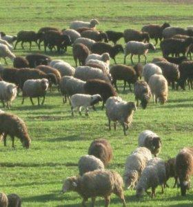 Овцы - бараны.