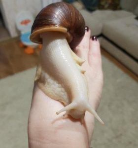 Улитка Ахатина альбино боди