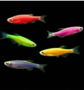 Рыбки глофиш