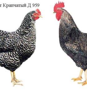 Цыплята Доминант 959 Несушка