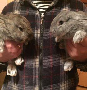 Кролики:серый великан,шиншилла, Фландер и бабочка
