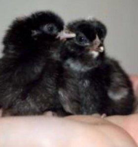 Цыплята Моравия Чёрная Несушка