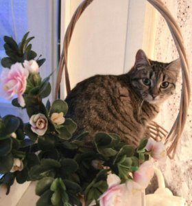 Толстенькая, полосатая кошка из приюта.