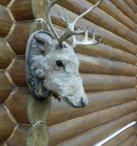 Голова северного оленя
