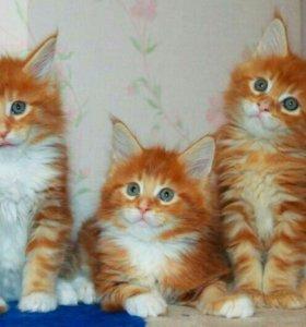Шикарные котята мейн-кун.