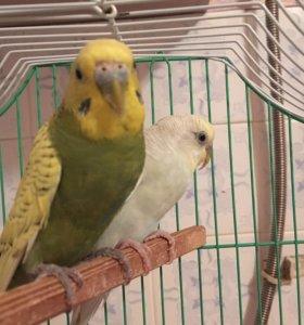 Попугаи , белый- мальчик. Зелёная -девочка