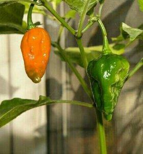 Семена перца Bhut Jolokia Naga Jolokia
