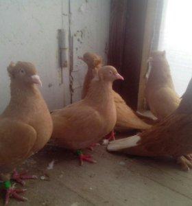 Голуби - бакинские желтые